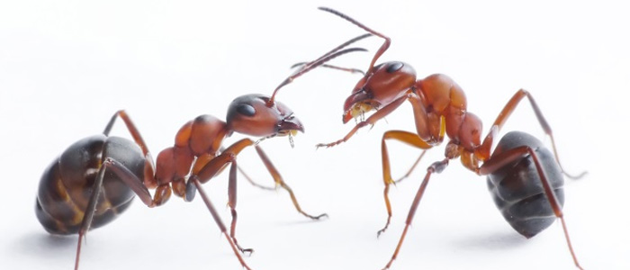 Ant Control Payneham