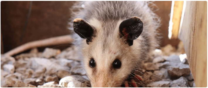 Possum Removal Payneham